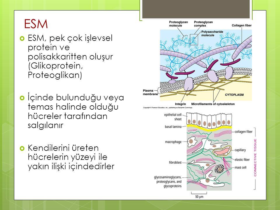ESM ESM, pek çok işlevsel protein ve polisakkaritten oluşur (Glikoprotein, Proteoglikan)