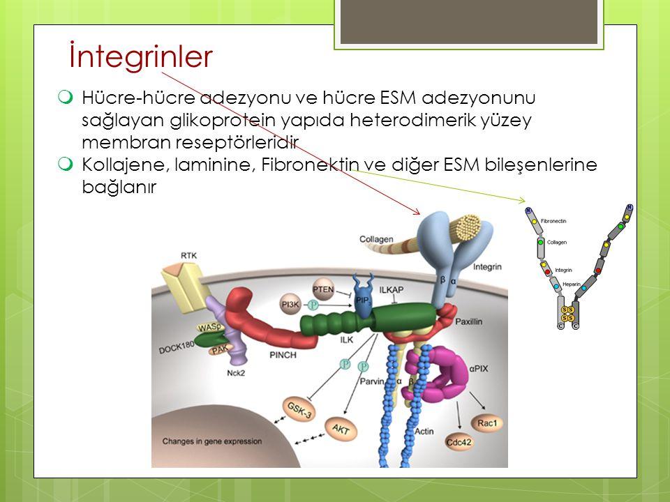 İntegrinler Hücre-hücre adezyonu ve hücre ESM adezyonunu sağlayan glikoprotein yapıda heterodimerik yüzey membran reseptörleridir.