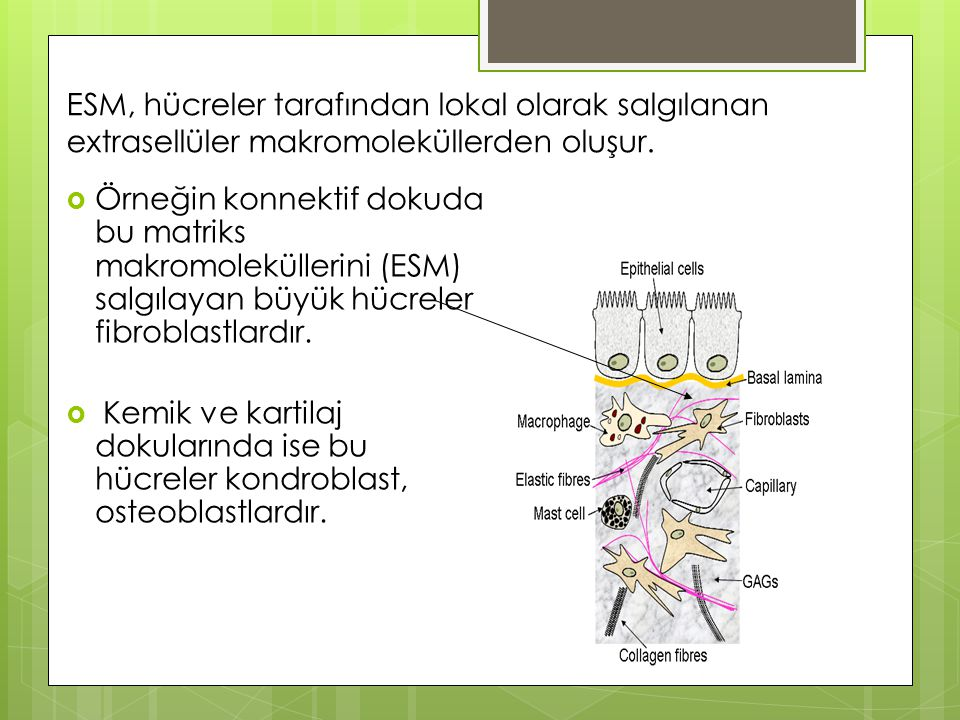 ESM, hücreler tarafından lokal olarak salgılanan extrasellüler makromoleküllerden oluşur.