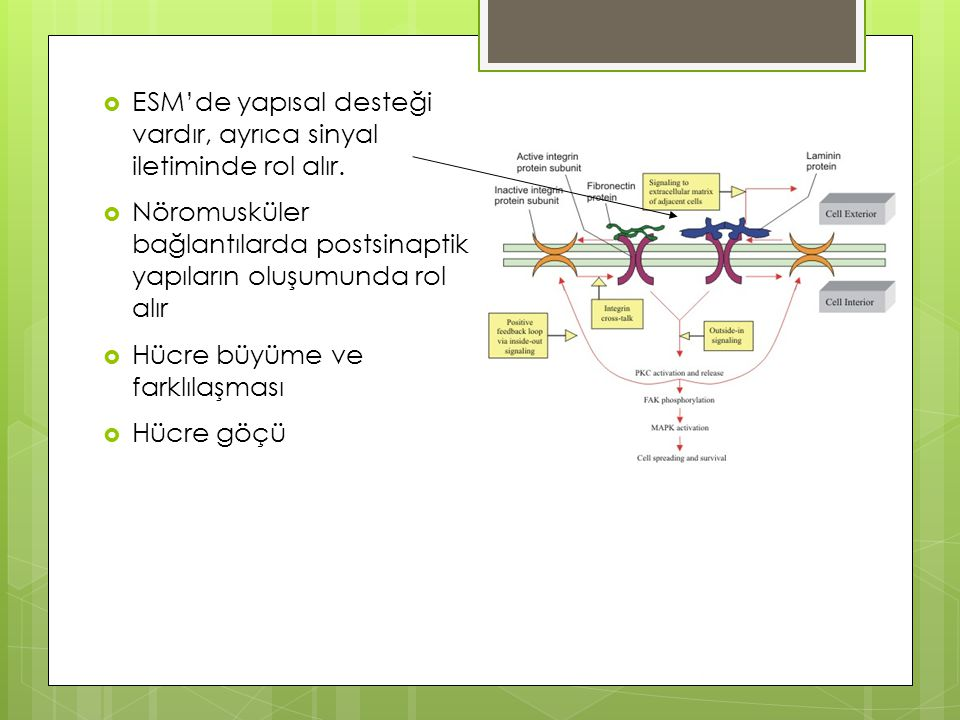 ESM'de yapısal desteği vardır, ayrıca sinyal iletiminde rol alır.