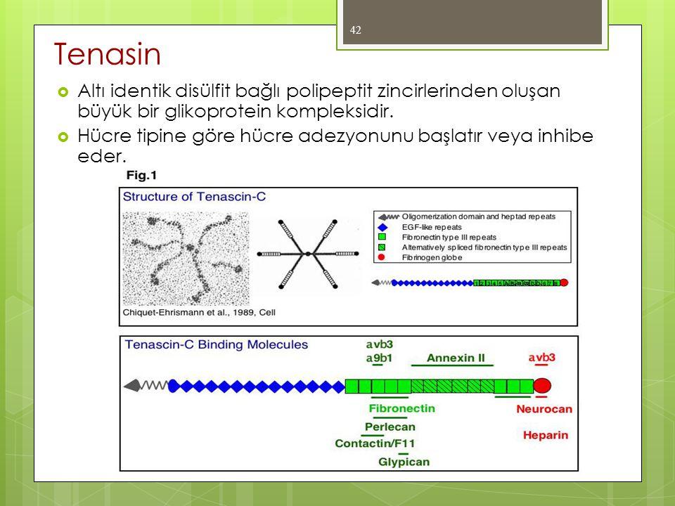 Tenasin Altı identik disülfit bağlı polipeptit zincirlerinden oluşan büyük bir glikoprotein kompleksidir.