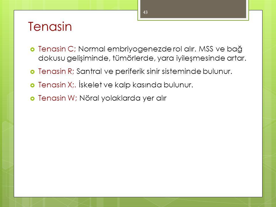 Tenasin Tenasin C; Normal embriyogenezde rol alır. MSS ve bağ dokusu gelişiminde, tümörlerde, yara iyileşmesinde artar.