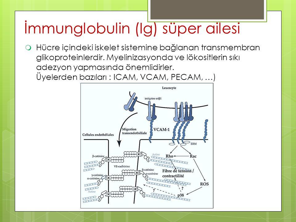 İmmunglobulin (Ig) süper ailesi