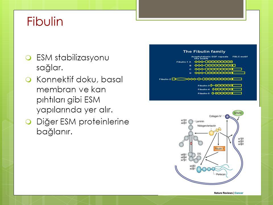 Fibulin ESM stabilizasyonu sağlar.