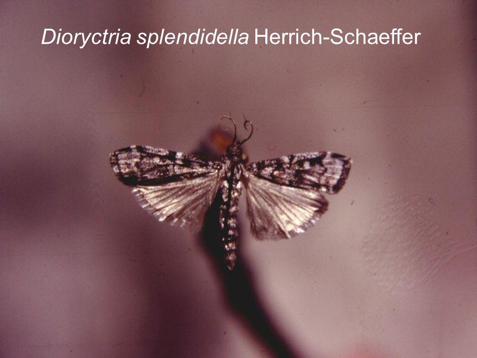Dioryctria splendidella Herrich-Schaeffer