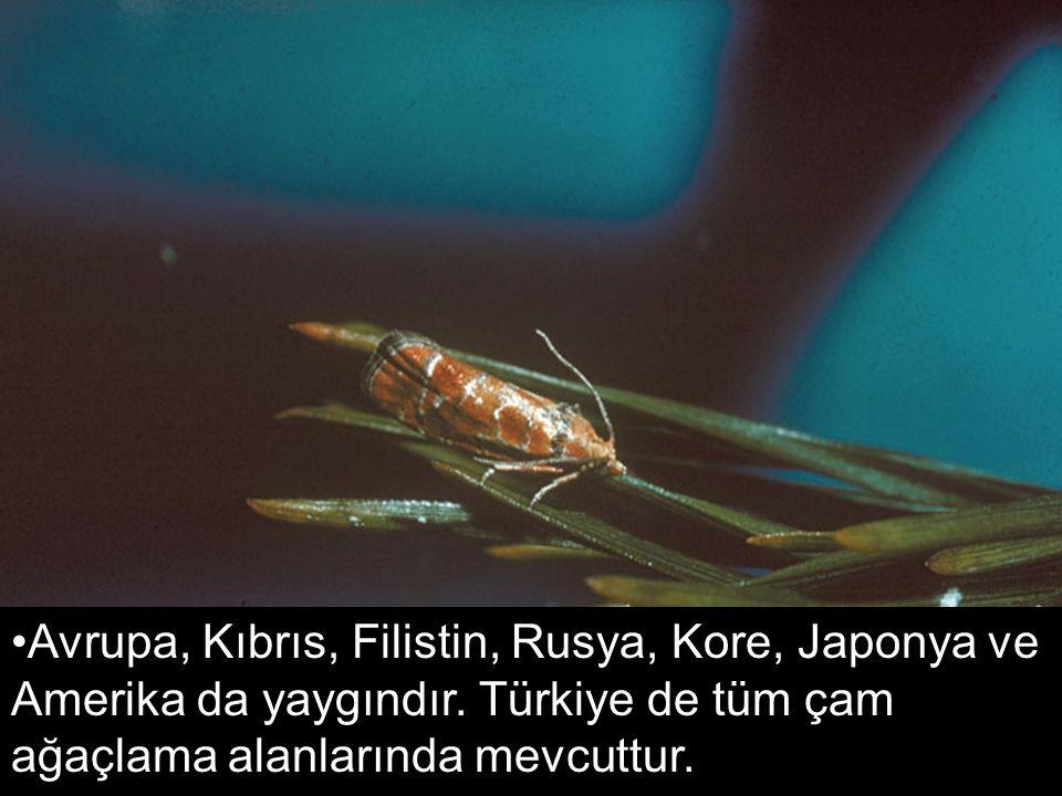 Avrupa, Kıbrıs, Filistin, Rusya, Kore, Japonya ve Amerika da yaygındır