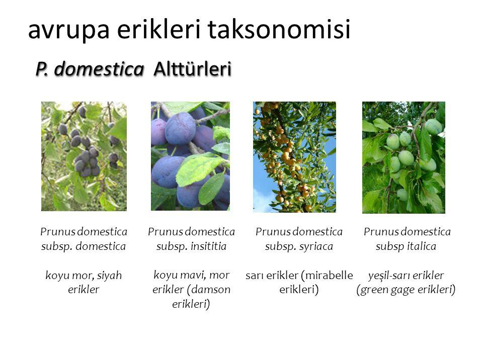 avrupa erikleri taksonomisi