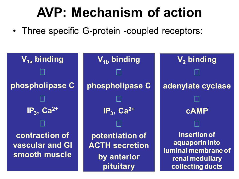 AVP: Mechanism of action