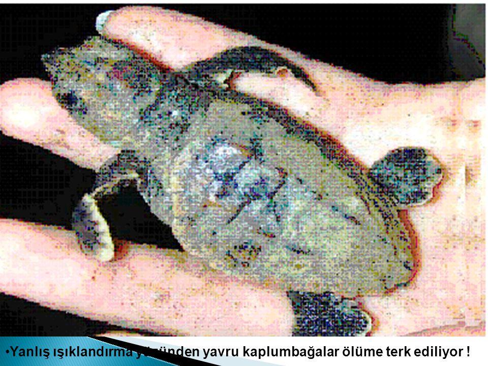 Yanlış ışıklandırma yüzünden yavru kaplumbağalar ölüme terk ediliyor !