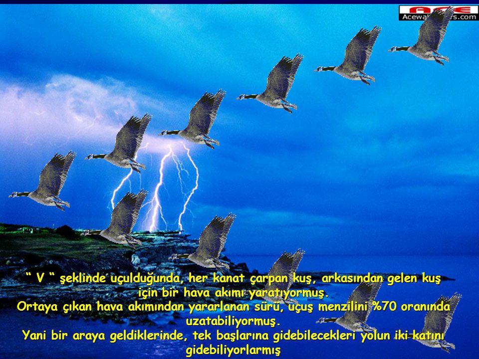 V şeklinde uçulduğunda, her kanat çarpan kuş, arkasından gelen kuş için bir hava akımı yaratıyormuş.