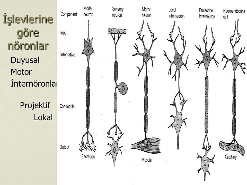 İşlevlerine göre nöronlar
