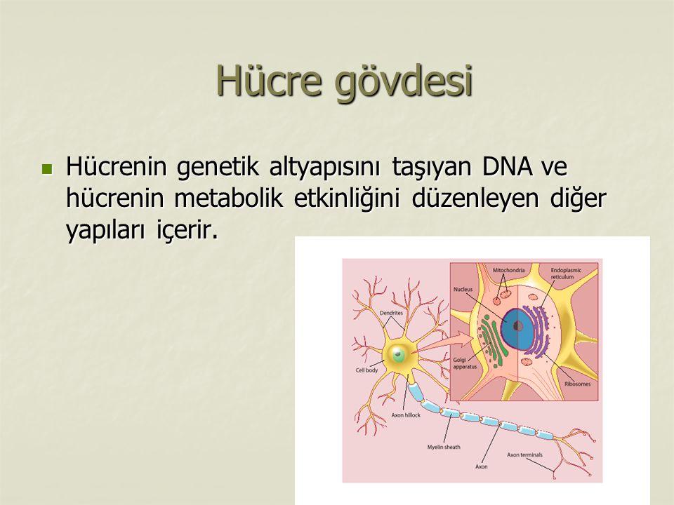 Hücre gövdesi Hücrenin genetik altyapısını taşıyan DNA ve hücrenin metabolik etkinliğini düzenleyen diğer yapıları içerir.