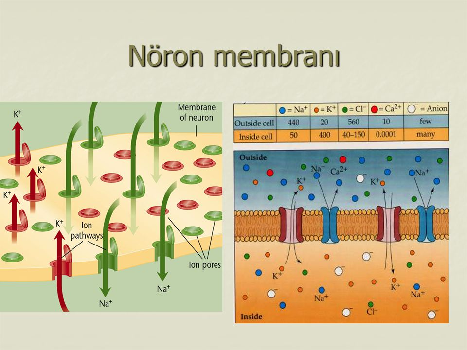 Nöron membranı