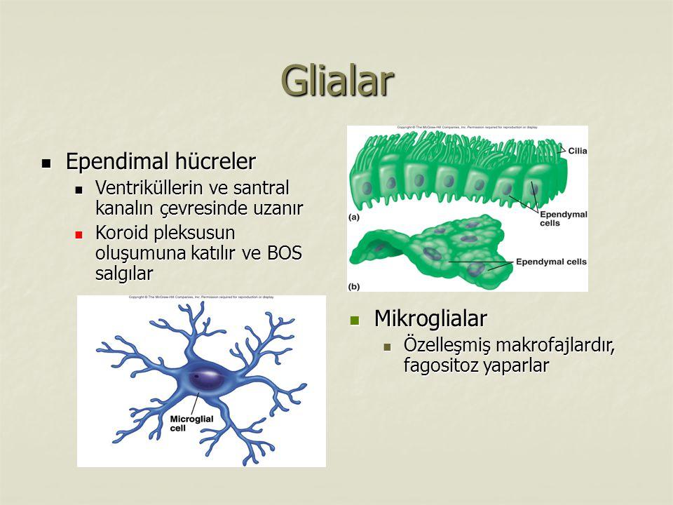 Glialar Ependimal hücreler Mikroglialar