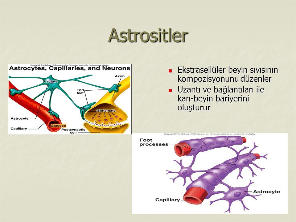 Astrositler Ekstrasellüler beyin sıvısının kompozisyonunu düzenler