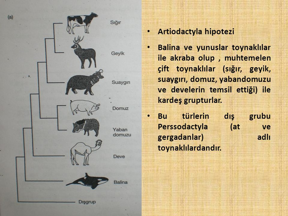 Artiodactyla hipotezi