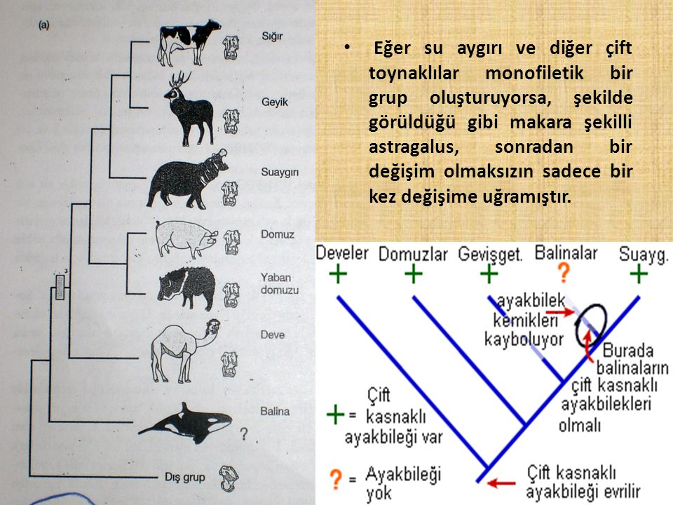 Eğer su aygırı ve diğer çift toynaklılar monofiletik bir grup oluşturuyorsa, şekilde görüldüğü gibi makara şekilli astragalus, sonradan bir değişim olmaksızın sadece bir kez değişime uğramıştır.