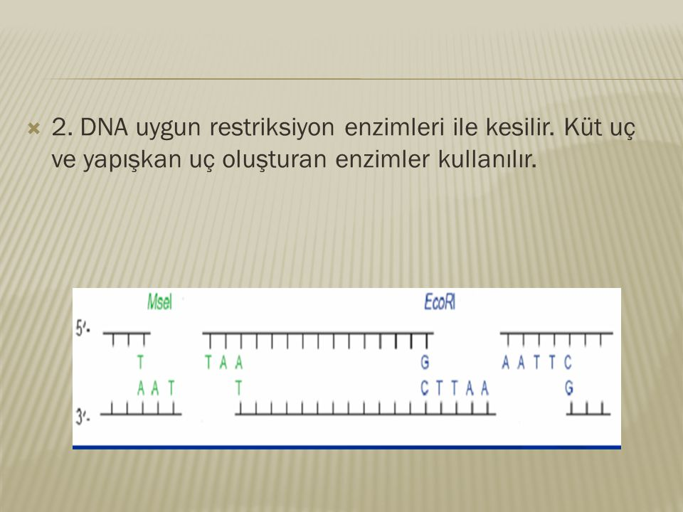 2. DNA uygun restriksiyon enzimleri ile kesilir