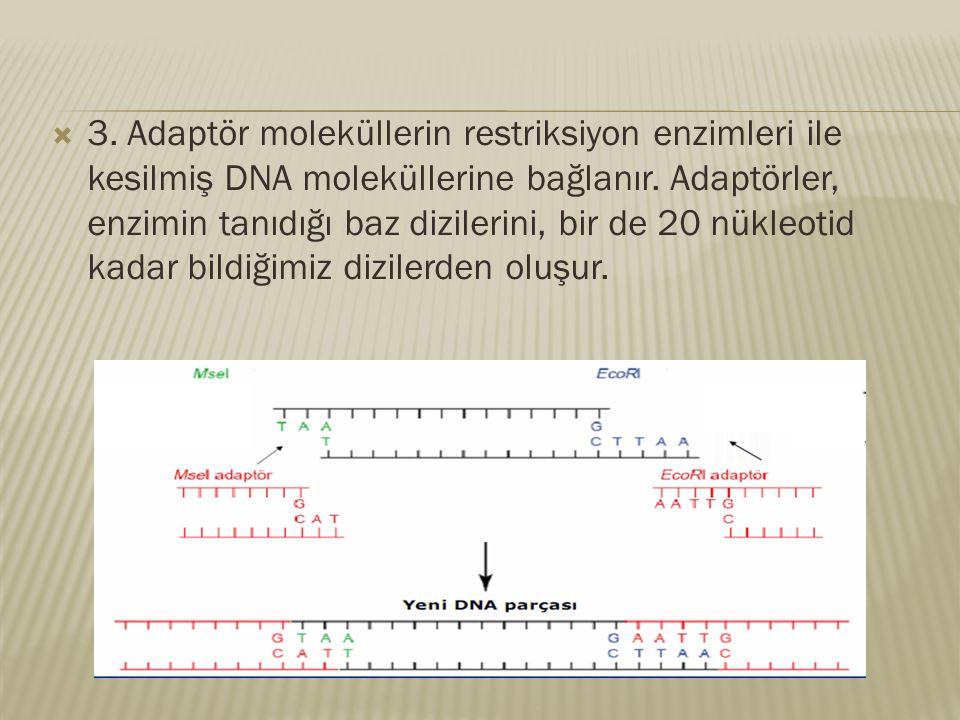3. Adaptör moleküllerin restriksiyon enzimleri ile kesilmiş DNA moleküllerine bağlanır.