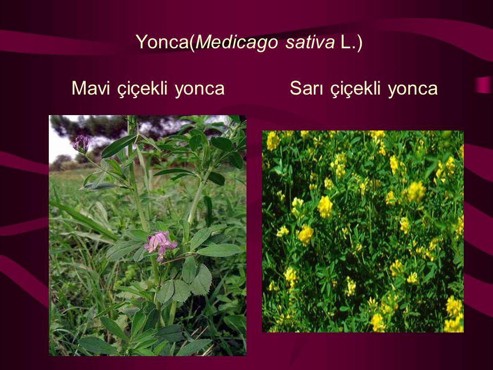 Yonca(Medicago sativa L.) Mavi çiçekli yonca Sarı çiçekli yonca