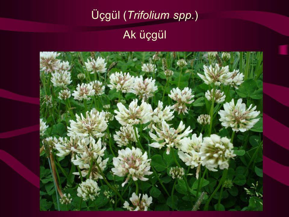 Üçgül (Trifolium spp.) Ak üçgül