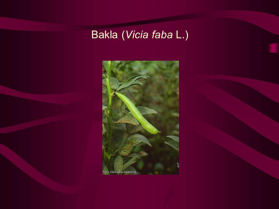Bakla (Vicia faba L.)