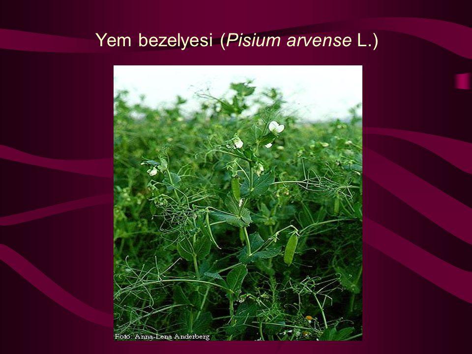 Yem bezelyesi (Pisium arvense L.)