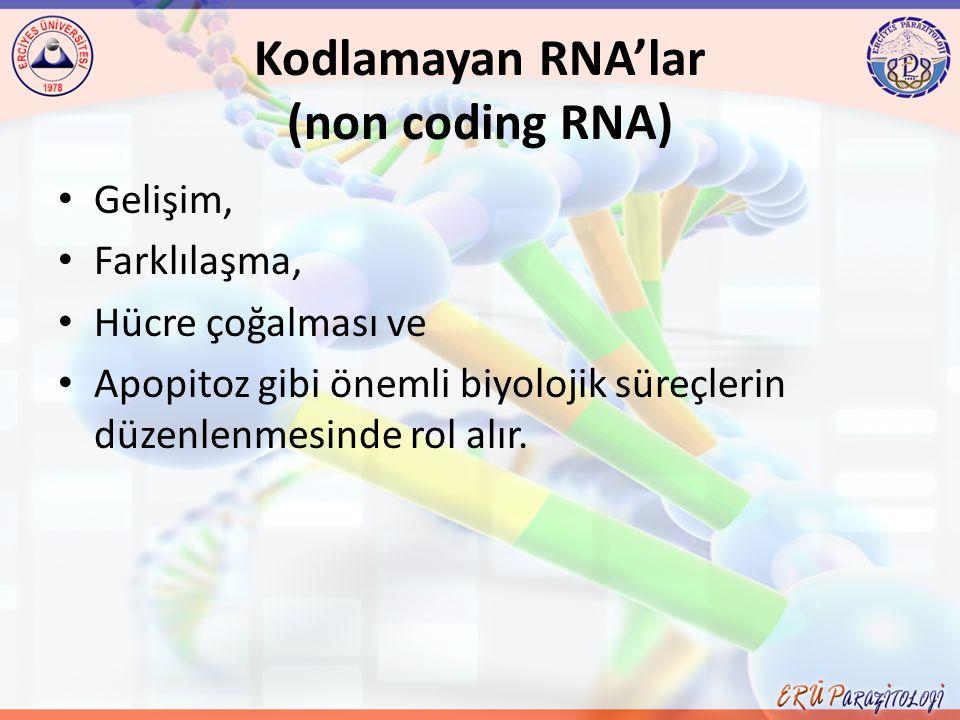 Kodlamayan RNA'lar (non coding RNA)