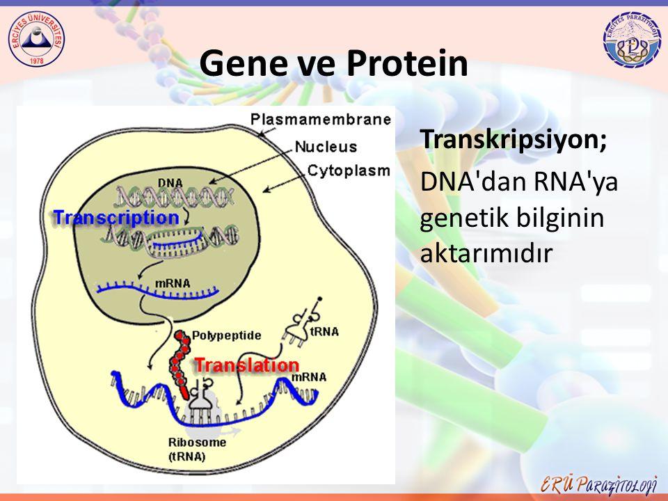 Gene ve Protein Transkripsiyon;