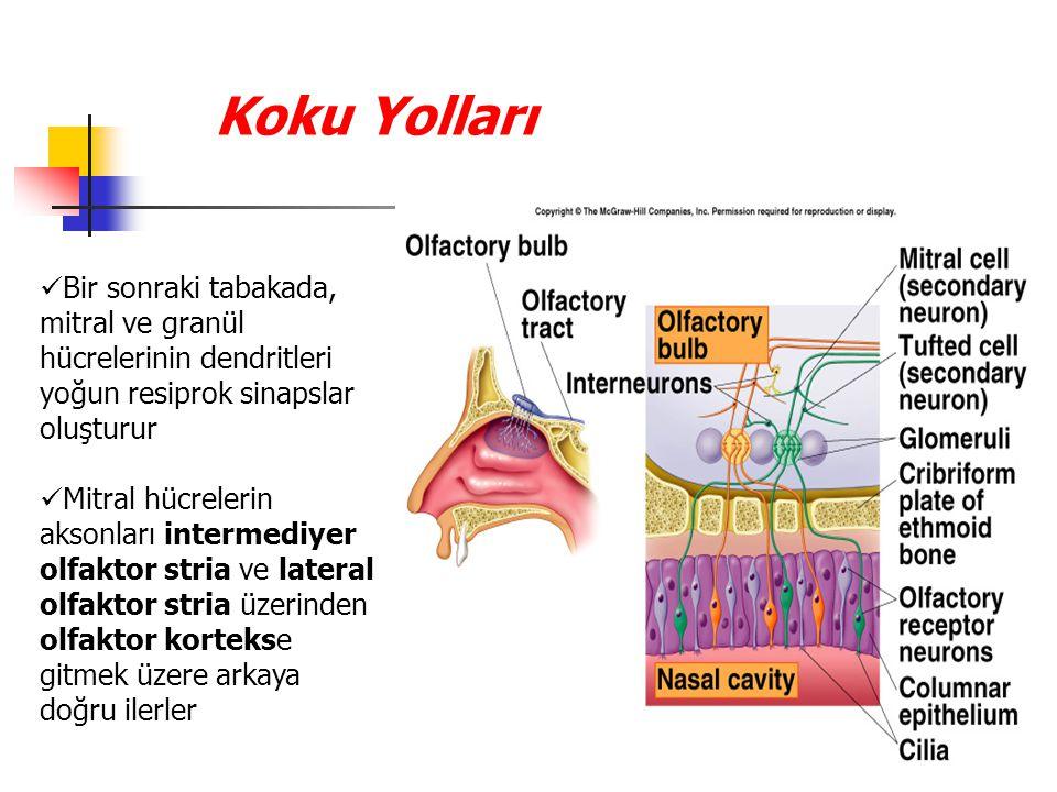 Koku Yolları Bir sonraki tabakada, mitral ve granül hücrelerinin dendritleri yoğun resiprok sinapslar oluşturur.