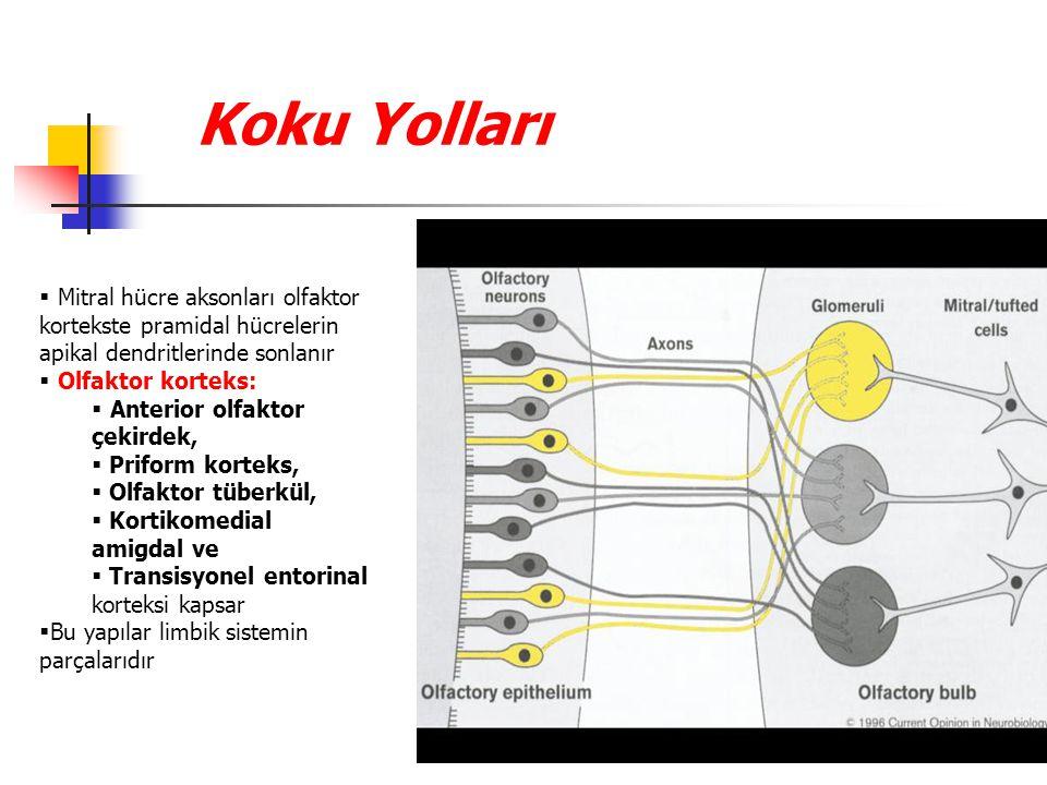 Koku Yolları Mitral hücre aksonları olfaktor kortekste pramidal hücrelerin apikal dendritlerinde sonlanır.