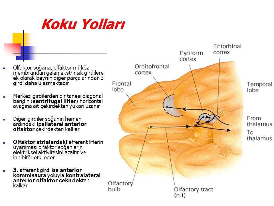 Koku Yolları Olfaktor soğana, olfaktor müköz membrandan gelen ekstrinsik girdilere ek olarak beynin diğer parçalarından 3 girdi daha ulaşmaktadır.