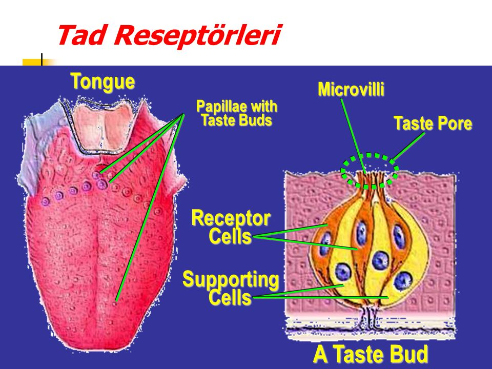 Papillae with Taste Buds