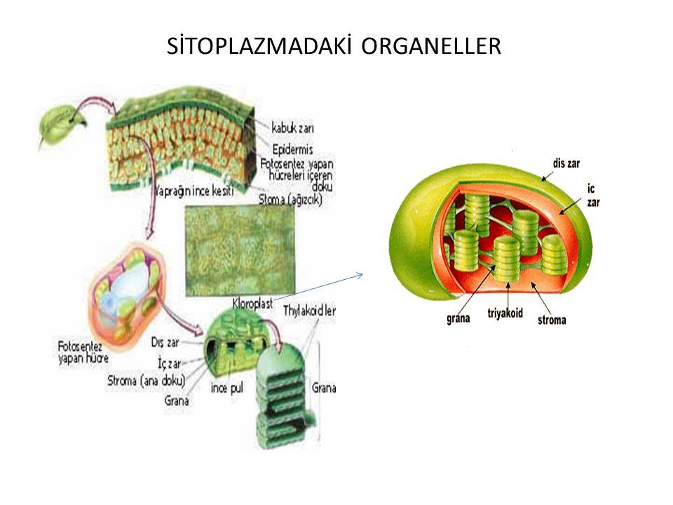 SİTOPLAZMADAKİ ORGANELLER