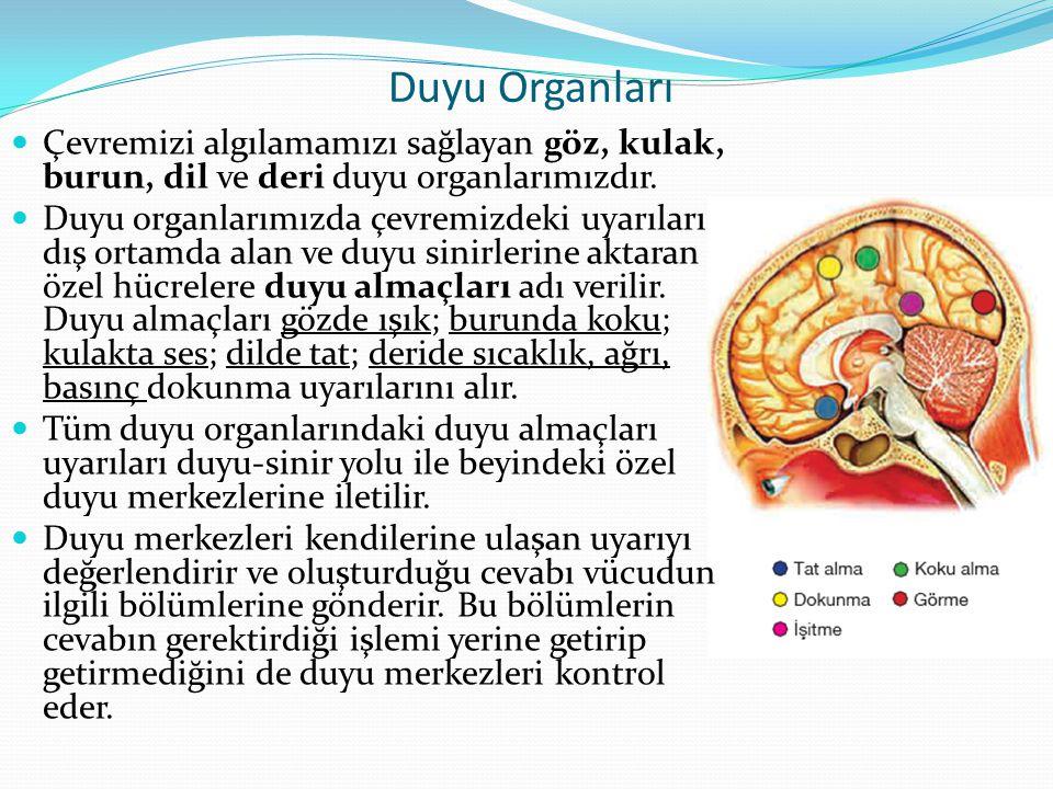 Duyu Organları Çevremizi algılamamızı sağlayan göz, kulak, burun, dil ve deri duyu organlarımızdır.