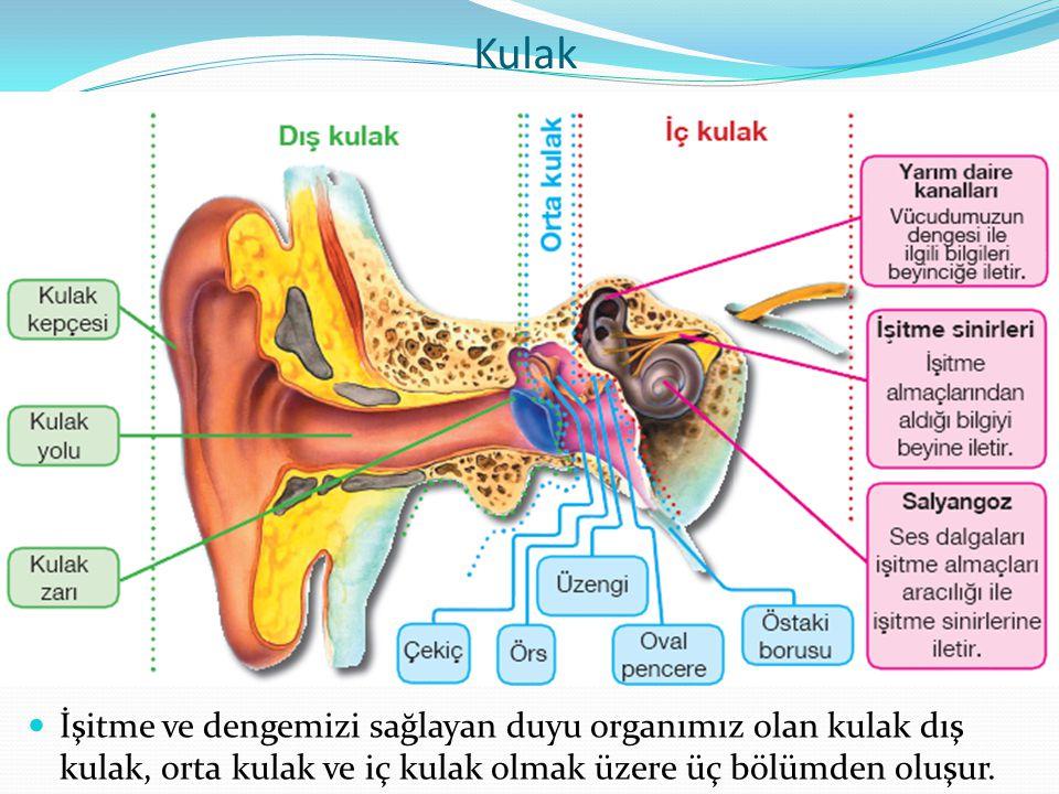 Kulak İşitme ve dengemizi sağlayan duyu organımız olan kulak dış kulak, orta kulak ve iç kulak olmak üzere üç bölümden oluşur.
