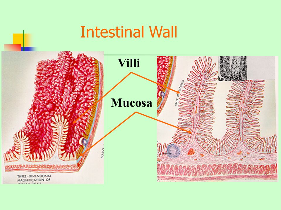 Intestinal Wall Villi Mucosa