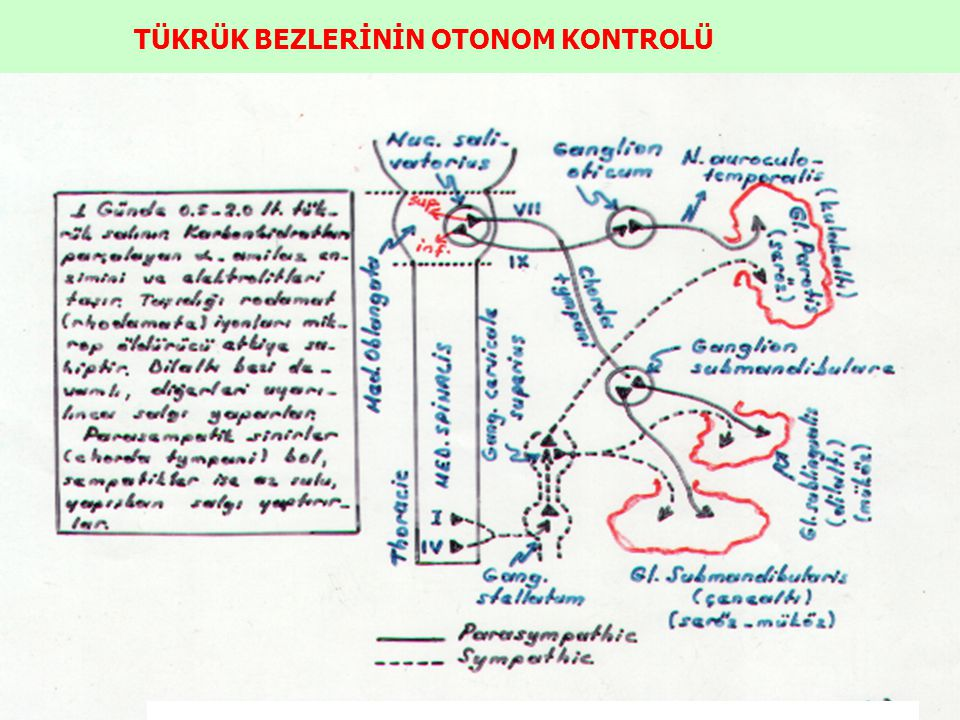 TÜKRÜK BEZLERİNİN OTONOM KONTROLÜ