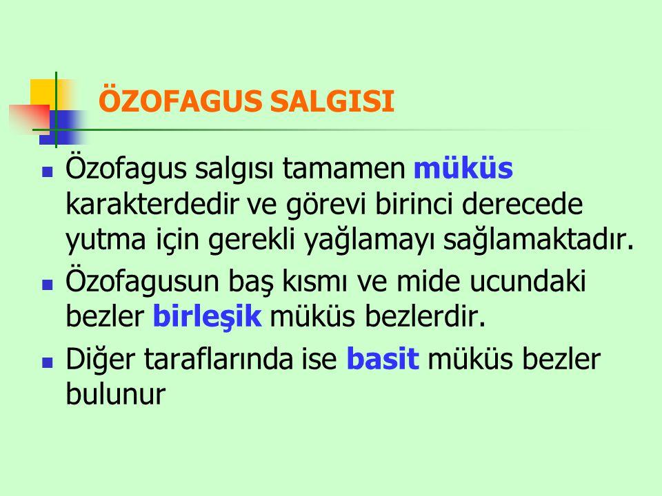 ÖZOFAGUS SALGISI Özofagus salgısı tamamen müküs karakterdedir ve görevi birinci derecede yutma için gerekli yağlamayı sağlamaktadır.