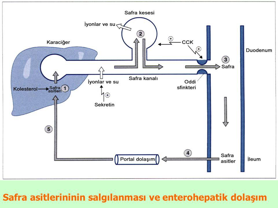 Safra asitlerininin salgılanması ve enterohepatik dolaşım