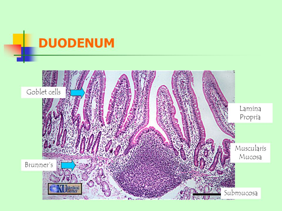 DUODENUM Goblet cells Lamina Propria Muscularis Mucosa Brunner's