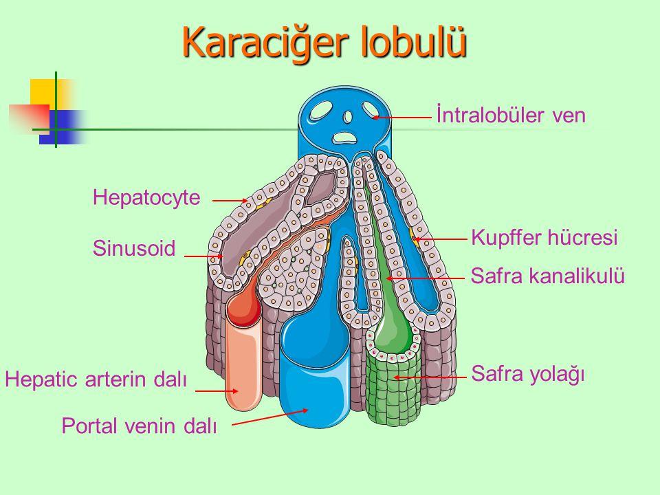 Karaciğer lobulü İntralobüler ven Hepatocyte Kupffer hücresi Sinusoid
