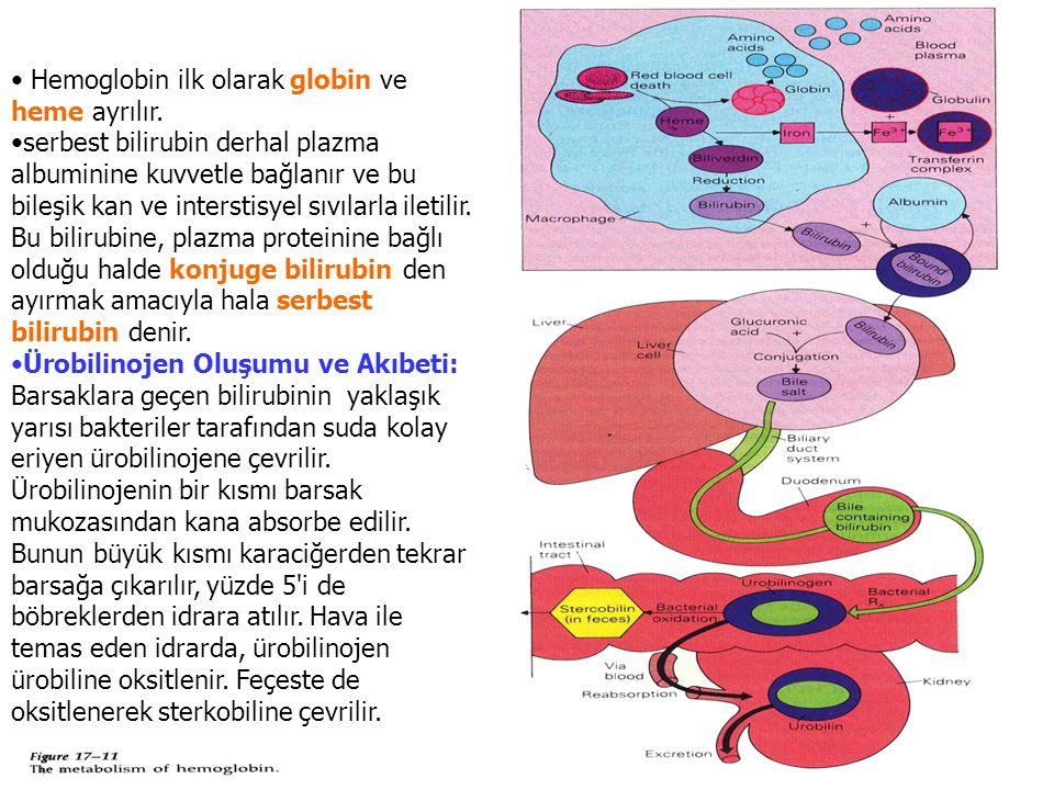 Hemoglobin ilk olarak globin ve heme ayrılır.