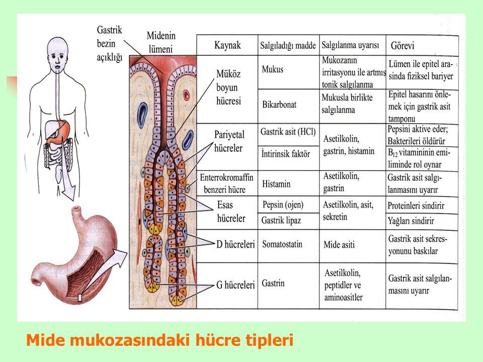 Mide mukozasındaki hücre tipleri