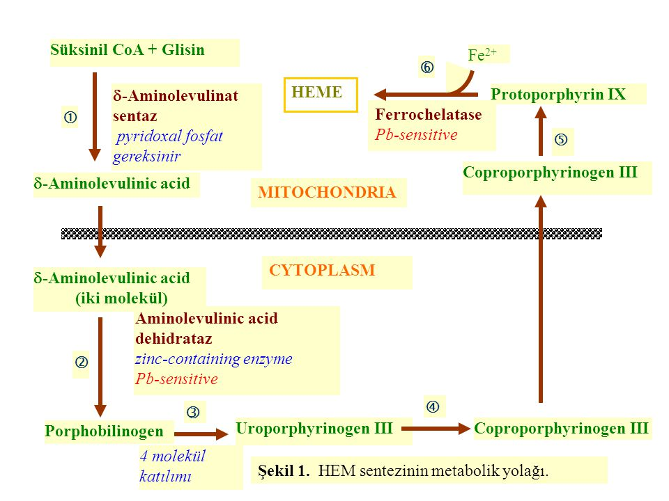 Süksinil CoA + Glisin Ferrochelatase. Pb-sensitive. HEME. Fe2+  -Aminolevulinat sentaz. pyridoxal fosfat gereksinir.