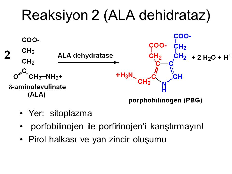 Reaksiyon 2 (ALA dehidrataz)