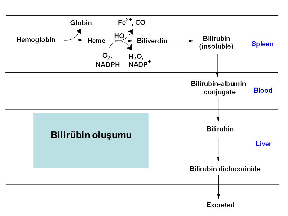Formation of Bilirubin: Overview