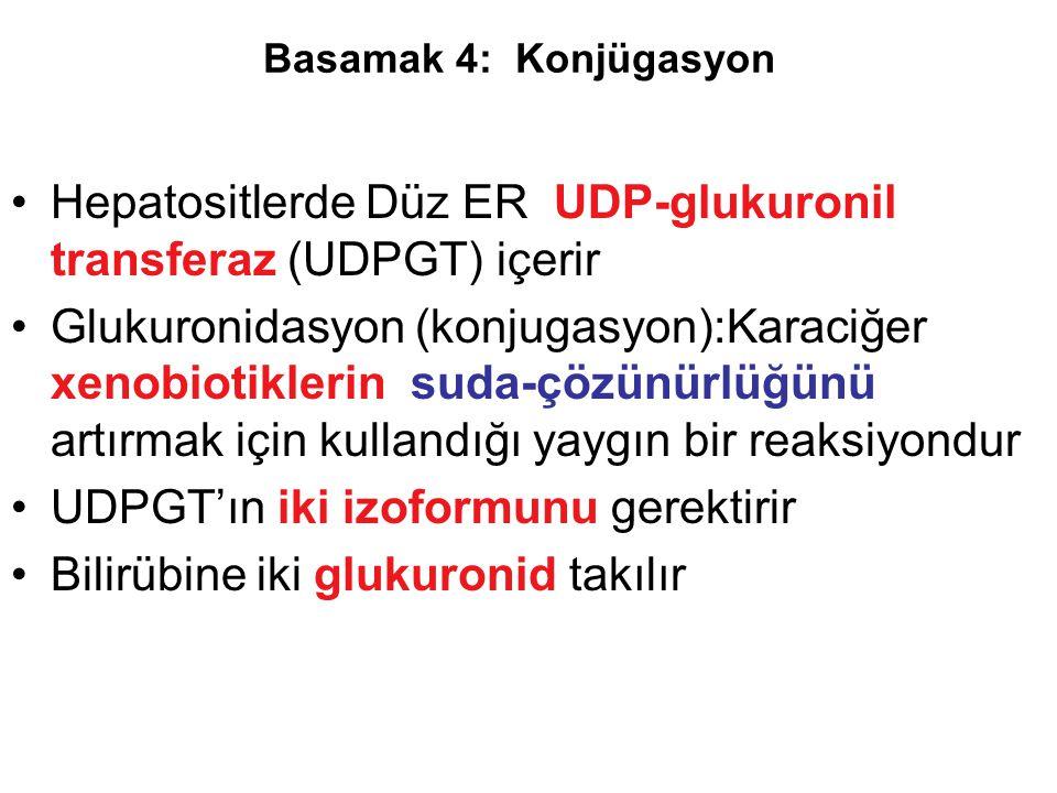 Hepatositlerde Düz ER UDP-glukuronil transferaz (UDPGT) içerir