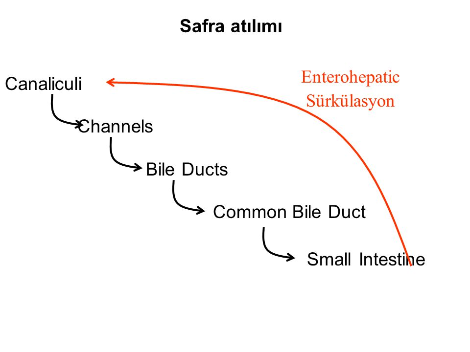 Safra atılımı Canaliculi. Channels. Bile Ducts. Common Bile Duct. Small Intestine. Enterohepatic.