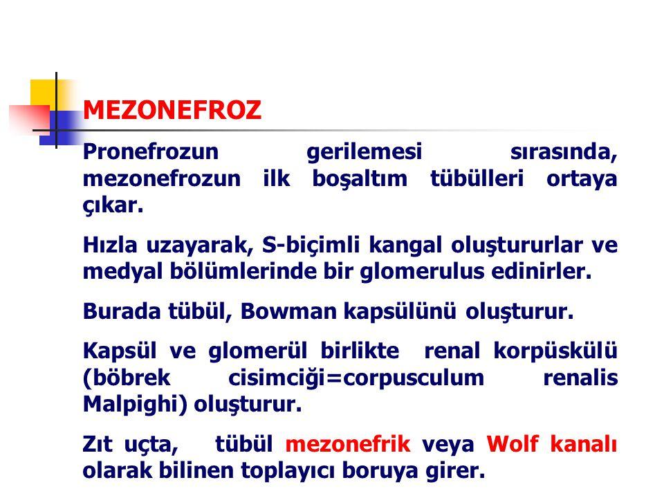 MEZONEFROZ Pronefrozun gerilemesi sırasında, mezonefrozun ilk boşaltım tübülleri ortaya çıkar.